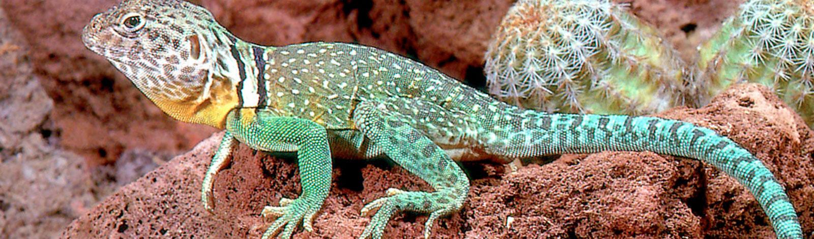 zion-lizard